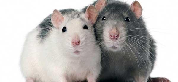 que significa soñar con ratas blancas