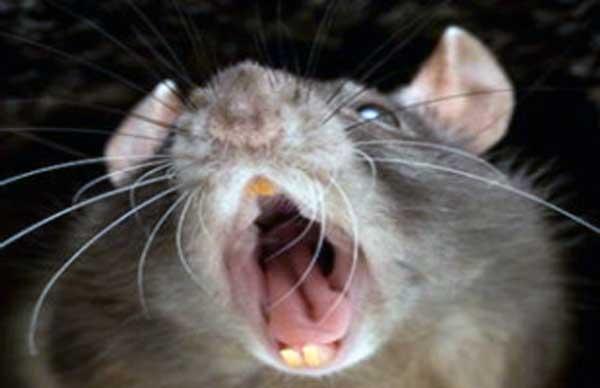 que significa soñar con ratas vivas
