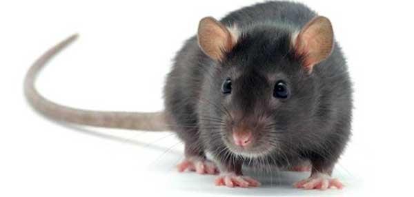 que significa soñar con una rata